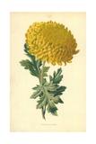 Chrysanthemum Giclee Print by Frederick Edward Hulme