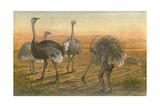 The Ostrich - 'sailing under False Colours' Giclee Print by Johann Baptist Zwecker