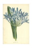 African Lily Giclee Print by Frederick Edward Hulme