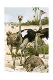 Ostriches Giclee Print by Wilhelm Kuhnert