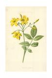 Yellow Jasmine Giclee Print by Frederick Edward Hulme