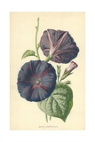 Major Convolvulus Giclee Print by Frederick Edward Hulme