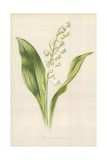 Lily of the Valley Giclee Print by Frederick Edward Hulme