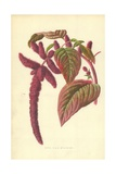 Love-Lies-Bleeding Giclee Print by Frederick Edward Hulme