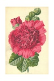 Hollyhock Giclee Print by Frederick Edward Hulme