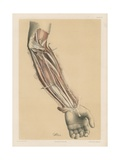 The Upper Limb. Deep View of the Front of the Forearm Giclee Print by G. H. Ford