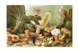 Sea Anemones Giclee Print by  English School