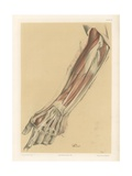 The Upper Limb. Superficial View of the Back of the Forearm and Hand Giclee Print by G. H. Ford