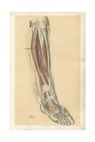 The Lower Limb. Front of the Leg and Dorsum of the Foot Giclee Print by G. H. Ford