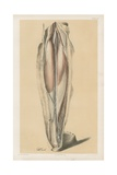 The Lower Limb. View of the Ham Undisturbed, and the First Stage of the Back of the Leg Giclee Print by G. H. Ford