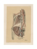 The Abdominal Parietes. Internal Iliac Artery, and Lumbar and Sacral Plexuses Giclee Print by G. H. Ford