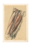 The Lower Limb. Anatomy of the Femoral Vessels, and the Anterior Crural Nerve Giclee Print by G. H. Ford