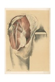 The Lower Limb. Second Stage in the Dissection of the Buttock Giclee Print by G. H. Ford