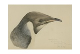 Immature Emperor Penguin, McMurdo Strait, 6 Feb, 1904 Giclee Print by Edward Adrian Wilson