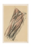 The Lower Limb. Muscles Inside the Femur with their Vessels and Nerves Giclee Print by G. H. Ford