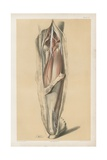 The Lower Limb. Deep Muscles of the Calf, and the Popliteal Vessels and Nerves Giclee Print by G. H. Ford