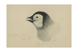 Emperor Penguin, Chick in Down, from Cape Crozier (Taken Alive), the Largest, Oct 1902 Giclee Print by Edward Adrian Wilson