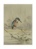 Kingfisher, Illustration from 'A History of British Birds' by William Yarrell, c.1905-10 Impression giclée par Edward Adrian Wilson
