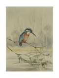 Kingfisher, Illustration from 'A History of British Birds' by William Yarrell, c.1905-10 Giclee Print by Edward Adrian Wilson