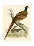 Pheasant Giclee Print by Beverley R. Morris