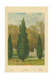 Cypress Giclee Print by William Henry James Boot