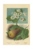 Pear-Blossom. Pear Giclee Print by William Henry James Boot