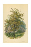 Pear Giclee Print by William Henry James Boot