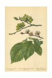 Fruit, Flowers, and Leaves of Wych Elm Giclee Print by William Henry James Boot