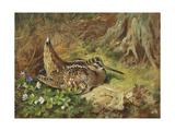 A Woodcock and Chicks, 1933 Giclee Print by Archibald Thorburn