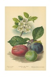 Flowers and Fruit of Plum Giclee Print by William Henry James Boot