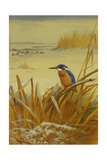 A Kingfisher Amongst Reeds in Winter, 1901 Giclee Print by Archibald Thorburn