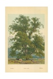 Wych Elm Giclee Print by William Henry James Boot