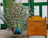 Tail Feathers, Havana, Cuba Photographic Print