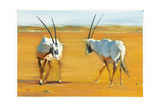 Circling Arabian Oryx, 2010 Giclee Print by Mark Adlington
