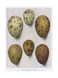 Eggs:Black Headed Gull:Common Gull:Etc, Illustration from 'British Birds' b Giclee Print by Hendrik Gronvold