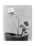 Geranium, Mexico City, c.1924 Photographic Print by Tina Modotti