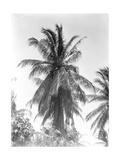 Palm Tree, 1925 Reproduction photographique par Tina Modotti