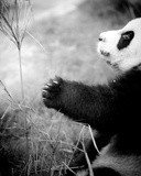 Panda Play, 2011 Photographic Print by Shaun Taylor McManus