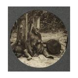 Chimpanzee, Kamerun, c.1910 Giclee Print