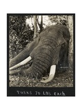 Tusks 70 Lbs Each, c.1930 Giclee Print