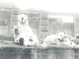 Two Polar Bears in ZSL London Zoo, 1927 Photographic Print by Frederick William Bond