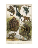 Apes and Monkeys Giclee Print by  English School