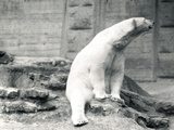 Polar Bear Sitting Down, 1924 Photographic Print by Frederick William Bond