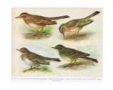 Richard's-Pipit, Tawny-Pipit, Alpine-Pipit and Rock-Pipit, Illustration from 'British Birds' by… Giclee Print by Hendrik Gronvold