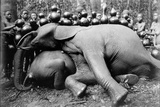 Elephant, c.1910 Photographic Print