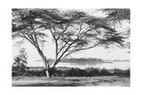 Flame Tree at Lake Naivasha Photographic Print
