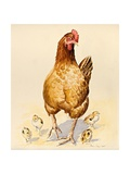 George's Hen and Her Chicks, 2007 Giclee Print by Alison Cooper