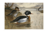 Mergansers, on Loch Maree, 1905 Giclee Print by Archibald Thorburn
