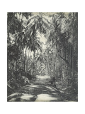 Road Near Colombo, Ceylon, February 1912 Fotografisk trykk av  English Photographer