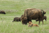 Free-Ranging Buffalo Herd on the Grasslands of Custer State Park in the Black Hills, South Dakota Photographic Print
